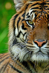 AN-Siberian Tiger 00023 by Peter J Mancus