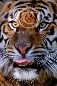 AN-Siberian Tiger 00019 by Peter J Mancus