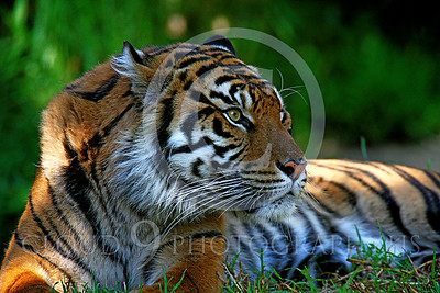 AN-Siberian Tiger 00006 by Peter J Mancus