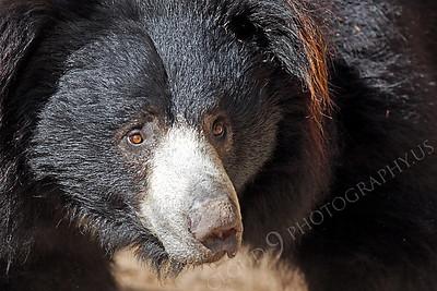 Sloth Bear 00008 by Peter J Mancus
