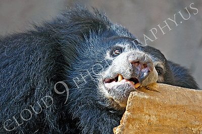 Sloth Bear 00001 by Peter J Mancus