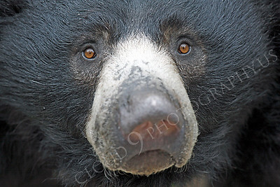 Sloth Bear 00007 by Peter J Mancus