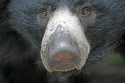 Sloth Bear 00012 by Peter J Mancus