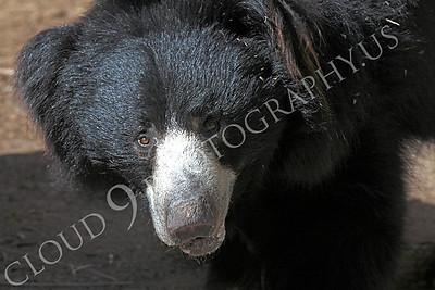 Sloth Bear 00003 by Peter J Mancus