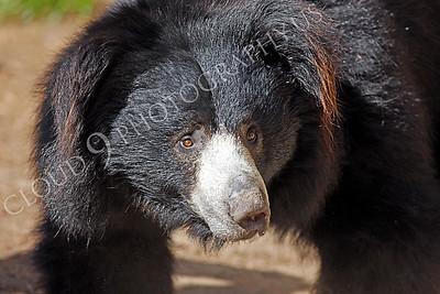 Sloth Bear 00005 by Peter J Mancus