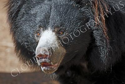Sloth Bear 00004 by Peter J Mancus