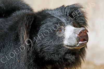 Sloth Bear 00002 by Peter J Mancus