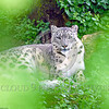 Snow Leopard 00025 Blurred leaves artistically frame a beautiful adult snow leopard curled up at rest on the ground below a large tree wildlife picture by Peter J  Mancus
