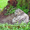 Snow Leopard 00032 A beautiful adult snow leopard curled up on the ground beneath a large tree wildlife picture by Peter J  Mancus