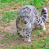 Snow Leopard 00030 A walking beautiful adult snow leopard with wide paws and a very busy tail wildlife picture by Peter J  Mancus