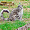 Snow Leopard 00031 A beautiful adult snow leopard with a curled magnificient thick tail wildlife picture by Peter J  Mancus