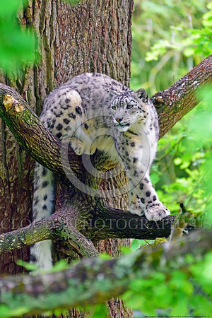 Snow Leopard 00007 A beautiful adult snow leopard turning around while climbing in a large tree wildlife picture by Peter J  Mancus