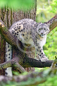 Snow Leopard 00017 An adult snow leopard rests on two different limbs in a large tree wildlife picture by Peter J  Mancus