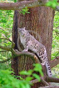 Snow Leopard 00001 A beautiful adult snow leopard climbing in a large tree wildlife picture by Peter J  Mancus