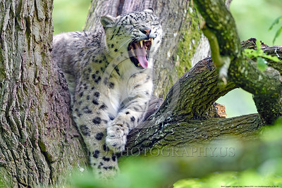 Snow Leopard 00009 A beautiful resting sleepy adult snow leopard yawns in a large tree wildlife picture by Peter J  Mancus