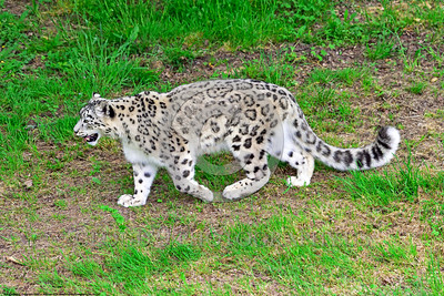 Snow Leopard 00002 A beautiful walking adult snow leopard wildlife picture by Peter J  Mancus