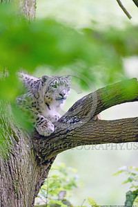 Snow Leopard 00019 An adult snow leopard in a large tree wildlife picture by Peter J  Mancus