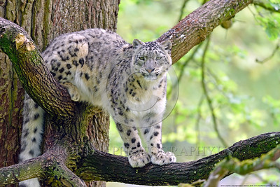 Snow Leopard 00026 An adult snow leopard at rest on two different limbs in a large tree looks tense and ready to move in any direction wildlife picture by Peter J  Mancus