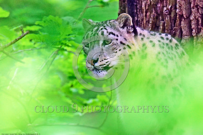 Snow Leopard 00012 An extreme tight crop portrait of an adult snow leopard in a large tree behind blurred leaves wildlife picture by Peter J  Mancus