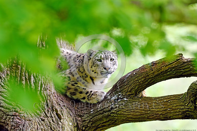 Snow Leopard 00020 A beautiful adult snow leopard in a tree framed by leaves wildlife picture by Peter J  Mancus