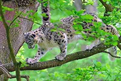 Snow Leopard 00006 A beautiful adult snow leopard walking on a tree limb in a large tree wildlife picture by Peter J  Mancus