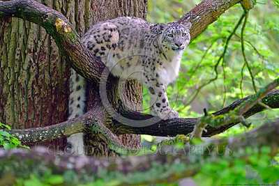 Snow Leopard 00015 A beautiful adult snow leopard in a tree wildlife picture by Peter J  Mancus