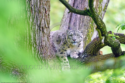 Snow Leopard 00003 A beautiful adult snow leopard at rest in a large tree wildlife picture by Peter J  Mancus
