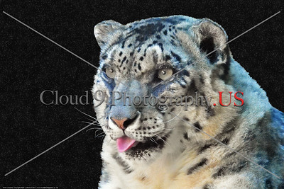 Snow Leopard 00023 An impressive portrait of a sitting snow leopard with a star filled night sky background, wild animal picture by Peter J  Mancus     DONEwt