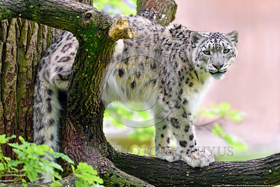 Snow Leopard 00028 An adult snow leopard in a large tree looks wildlife picture by Peter J  Mancus