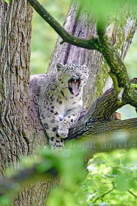 Snow Leopard 00021 A beautiful yawning adult snow leopard in a large tree wildlife picture by Peter J  Mancus