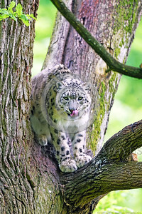 Snow Leopard 00013 A beautiful adult snow leopard in a tree licks its nose wildlife picture by Peter J  Mancus