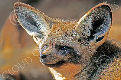 South African Bat-Eared Fox 00001 Close-up portrait of a south African bat-eared fox, by Peter J Mancus