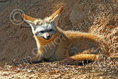 South African Bat-Eared Fox 00002 An alert, reclined, south African bat-eared fox, by Peter J Mancus