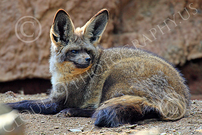 South African Bat-Eared Fox 00004 An alert, reclined, south African bat-eared fox, by Peter J Mancus