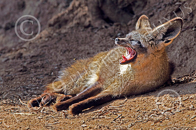 South African Bat-Eared Fox 00003 A reclined south African bat-eared fox yawns, by Peter J Mancus