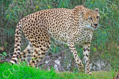 South African Cheetah 00008 A walking adult South African cheetah, by Peter J Mancus