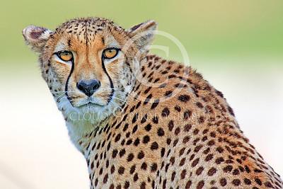 South African Cheetah 00018 An alert adult South African cheetah, by Peter J Mancus