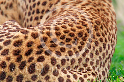 South African Cheetah 00028 An adult South African cheetah's spotted fur, by Peter J Mancus