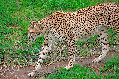 South African Cheetah 00024 A walking, adult, South African cheetah, by Peter J Mancus