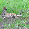 South African Cheetah 00140 A beautiful resting alert adult South African cheetahs wildlife picture by Peter J  Mancus