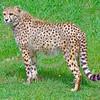 South African Cheetah 00148 A standing beautiful alert adult South African cheetah wildlife picture by Peter J  Mancus
