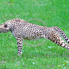 South African Cheetah 00156 A standing stretching adult South African cheetah wildlife picture by Peter J  Mancus