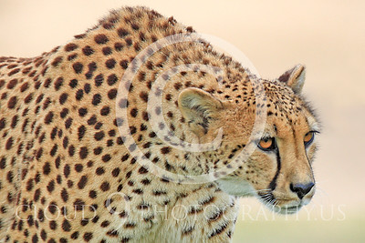 South African Cheetah 00011 A walking, adult, South African cheetah looks ahead, by Peter J Mancus
