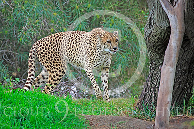 South African Cheetah 00022 A walking adult South African cheetah, by Peter J Mancus