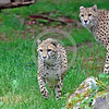 South African Cheetah 00136 A beautiful pair of alert hunting adult South African cheetahs wildlife picture by Peter J  Mancus