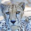 South African Cheetah 00113 Close up of an alert crouching adult South African cheetah, wild animal picture by Peter J  Mancus     DONEwt
