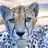 South African Cheetah 00149 Close up of an alert crouching adult South African cheetah, wild animal picture by Peter J  Mancus     DONEwt