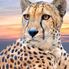 South African Cheetah 00115 An alert, focused, sitting South African cheetah, wild animal picture by Peter J  Mancus     DONEwt_01