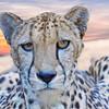 South African Cheetah 00161 Close up of an alert crouching adult South African cheetah, wild animal picture by Peter J  Mancus     DONEwt