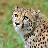South African Cheetah 00075 An excellent portrait of a beautiful alert  South African Cheetah wildlife picture by Peter J  Mancus